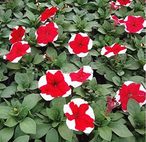400 graines / sac de graines de pétunia rare mélangé des graines de fleurs jardin Courtyard pot bonsaï belle graine