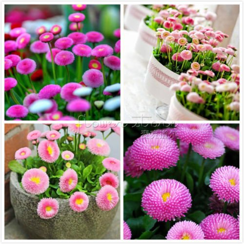 400 Rose English Daisy Seeds ~~ beaux jardins