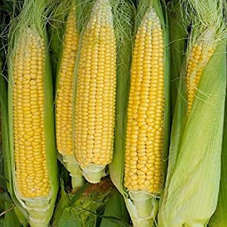 David's Garden Seeds Corn Sweet Golden Bantam 12 Row SL6113 (Yellow) 100 Non-GMO, Heirloom Seeds