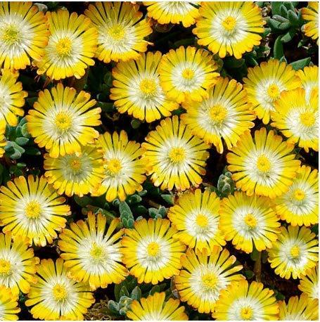 Beautytalk-Garten Bunte Mittagsblumen Samen Delosperma Cooperi Samen mehrjährig winterhart Polsterpflanze Saatgut Eisblumen Samen Lange Blütezeit Blumensamen für Balkon/Garten