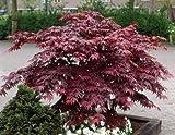 Amazon.de Pflanzenservice Grüner Garten Shop Érable Japonais en Pot Rouge 4 à 5l