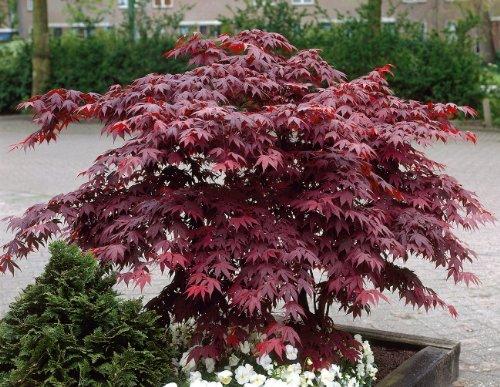 Großblättriger roter Japanischer Fächerahorn Gartenpflanze 1 Stück im Topf gewachsen