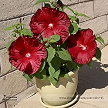 Solution Seeds Farm Honeymoon Deep Heirloom Red Hibiscus Seeds, Professional Pack, 20 Seeds / Pack, The Darkest, Most Velvety Rare Red Ever Bonsai Flower (Not Plants)