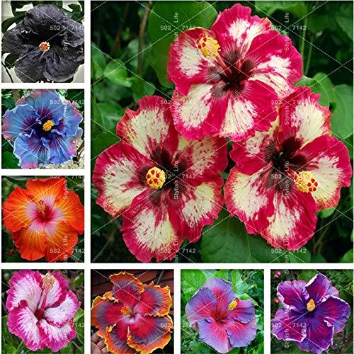 SANHOC 100 Pcs bonsaï géant Chinois Fleur d'hibiscus Bricolage Hibiscus Plante Flores Cadeau pour Vos Enfants Easy Grow Jardin Décoration: Mix