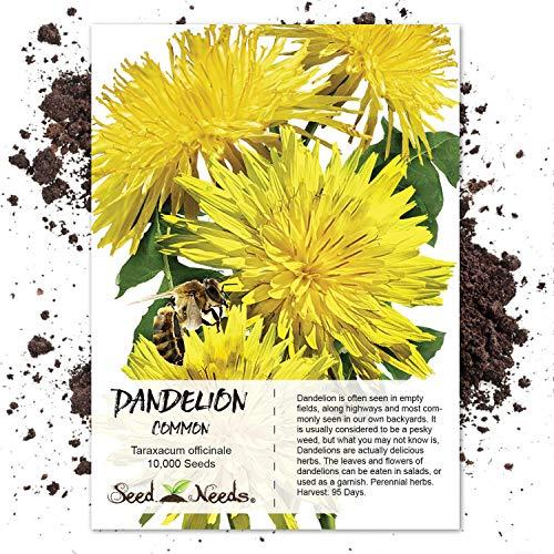 Seed Needs, Dandelion Herb (Taraxacum officinale) Bulk Package of...