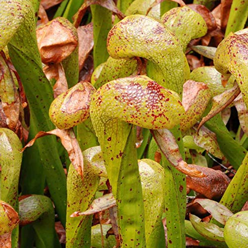 100PCS Carnivorous Cobra Lily Darlingtonia Californica Flower Seeds Bonsai Plant Seeds for Garden,Mysterious Gift