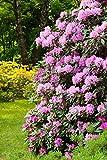 Rosa Alpenrose - Rhododendron Roseum Elegans - 50-60cm im 5 Ltr. Topf