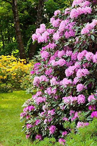 GardenPalms -  Rosa Alpenrose -