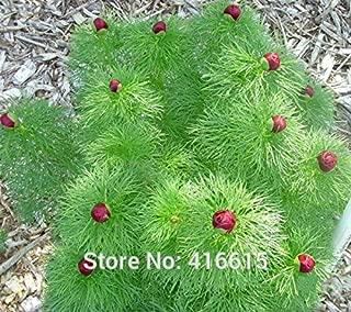 paeonia tenuifolia seeds