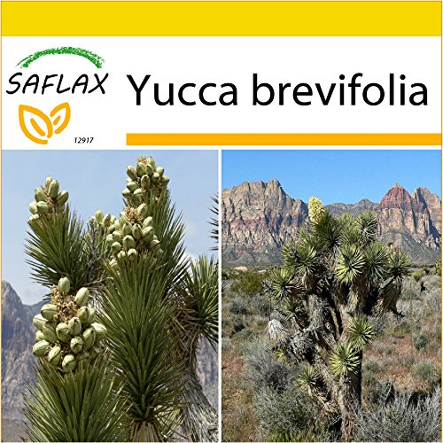 SAFLAX - Set de cultivo - Árbol de Josué - 10 semillas - Con mini-invernadero, sustrato de cultivo y 2 maceteros - Yucca brevifolia