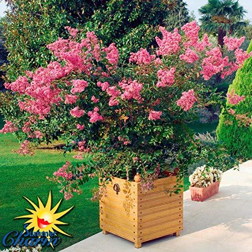 Qulista Samenhaus - Rarität Indianerflieder Rot dekorativ Kräftig wachsend, Zierpflanzen Baum Saatgut Blumensamen winterhart mehrjährig
