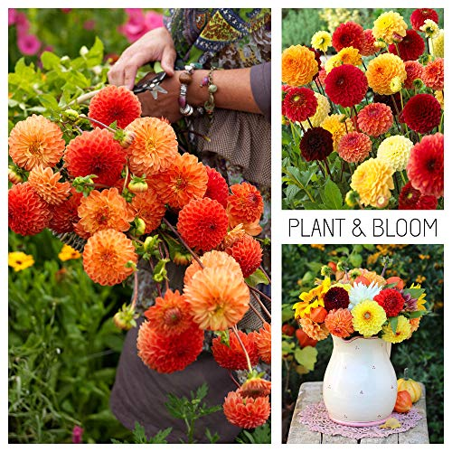Plant & Bloom Dahlia Flower Bulbs Mix from Holland, 3 Bulbs - Easy to Grow Pompom and Ball Dahlia Tubers for Spring Planting in Your Garden - Top Dutch Quality - Yellow Red Blooms - Lovely Combi