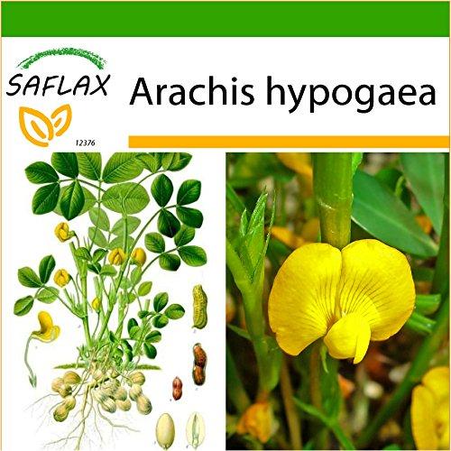 SAFLAX - Cacahuète - 8 graines - Avec substrat - Arachis hypogaea