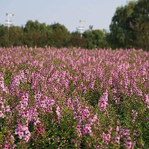 XINDUO Samen fü Blumen,Zierpflanze Lythrum chinensis Blumensamen-500 Kapseln,Blumensamen Bunte