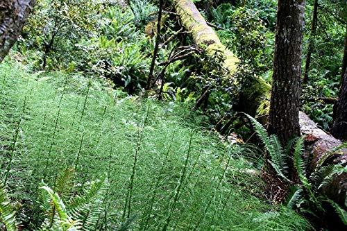 Grüner Besen Farn Baum-Farn Spargel virgatus, 20 Samen leicht anzubauen