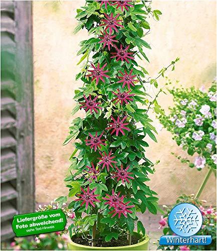 BALDUR-Garten Winterharte Passionsblumen 'Ladybirds Dream', 1 Pflanze, Passiflora mehrjährig