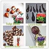 bombillas de alta calidad (tulipanes, gladiolos, shigarlic, bulbos de jacinto) no es una semilla de flor, hermosas plantas en macetas 4 kindsper paquete de 1PC