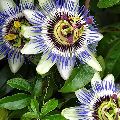 Fash Lady Förderung 100 Stücke Exotische Passionsfrucht Samen Lila Passiflora edulis Passionsblume samen Outdoor anlage Roman Samen