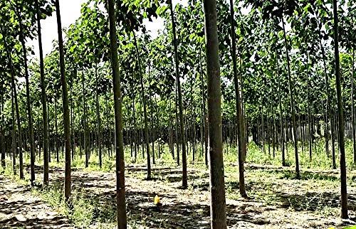 EXTRA CLEAN 100 Paulownia Pao Tong Z07 Samen, Kiri Baum, Blauglockenbaum, 3-Sorten Superhybrid, bis -33°C, Ernte November 2020