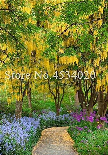 100 stuks Golden Mimosa Acacia Baileyana Yellow Wattle Boom van de bonsai Bloem Aromatische plant decoratieve huis tuindecoratie: 6