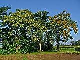 La quantità del pacchetto è 45232 Vendiamo solo semi Semi ad alto tasso di germinazione La restituzione della merce non è disponibile 600 Seeds: Tree Of () - 250/600 Seeds + regalo
