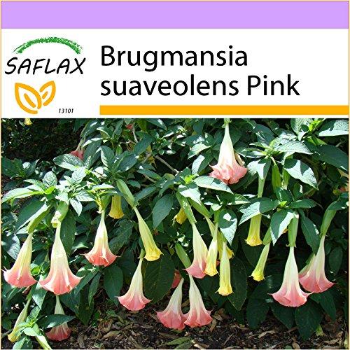 SAFLAX - Engelstrompete/Pink - 10 Samen - Brugmansia suaveolens Pink