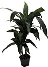 Janet Craig Dragon Tree Form - Dracaena fragrans - 6