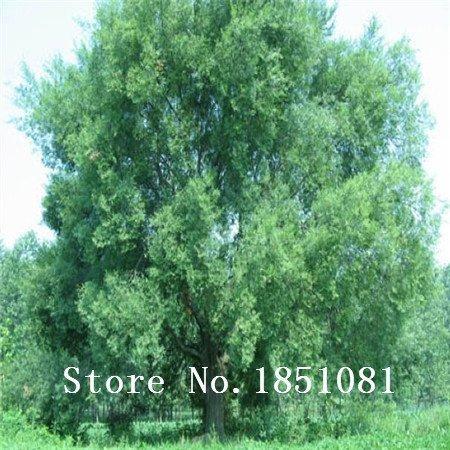 SwansGreen big sale 100 Pieces/Lot Chinese Bonsai Elm Seeds,Woody Perennial Garden Seeds Ulmus Pumila Tree Seeds