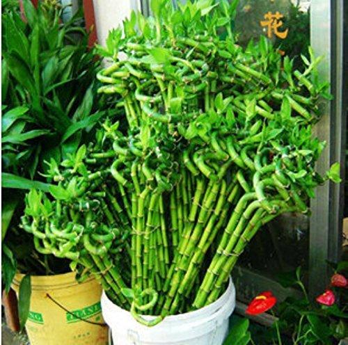 20 pcs / sac, graines de Dracaena, graines en pot, semences de fleurs, variété complète, taux d'avènement 95% (couleurs mixtes)