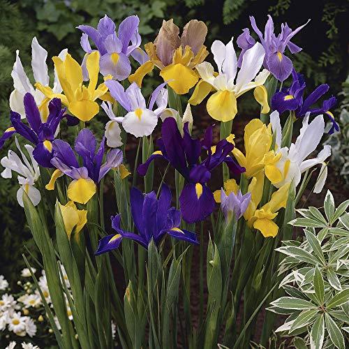 YouGarden Dutch Spring Iris Mixed colours x 100 bulbs