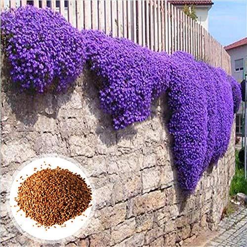 C-LARSS 1 Bolsa De Semillas De Berro Púrpura, Resistentes Al Frío, Fáciles De Plantar, Llamativas Semillas De Hierbas Para Jardín/Exterior Púrpura Semillas Aubrieta