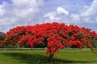 Flamboyant Flame Tree, Delonix Regia, Royal Ponciana 50 Seeds