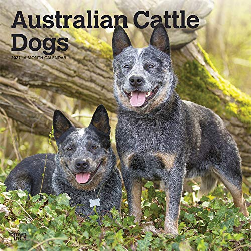 Australian Cattle Dogs 2021 12 x 12 Inch Monthly Square Wall Calendar, Animals Dog Breeds