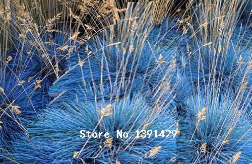 100 Bleu fétuque Seeds - (Festuca glauca) vivaces rustiques ornementaux herbe bonsaï Les jardinières de fleurs en pot pour la maison et le jardin