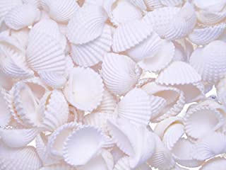 "Florida Shells and Gifts Inc. 50 Tiny White Ark (Cup) Shells 1/2-3/4"" Granosa Beach Decor Wedding Crafts Hobby Seashell"