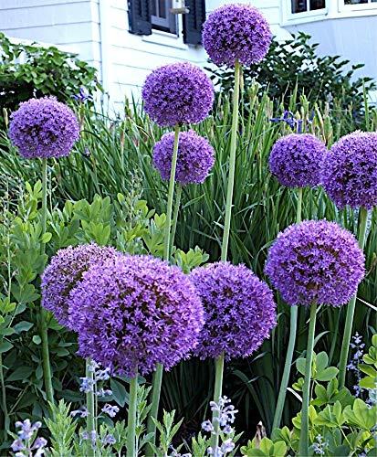 3 x Allium \'Globemaster\' 1 Liter (Zierlauch) SELTENHEIT