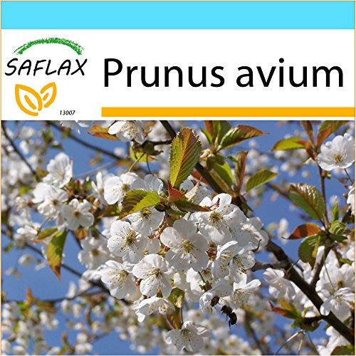 SAFLAX - Kit cadeau - Cerisier des oiseaux - 10 graines - Prunus avium