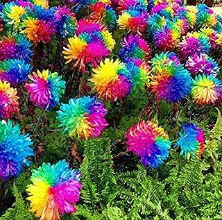 100pcs / bag semillas arco iris margarita crisantemo, semillas semillas de flores bonsai hermosas plantas en macetas para ...