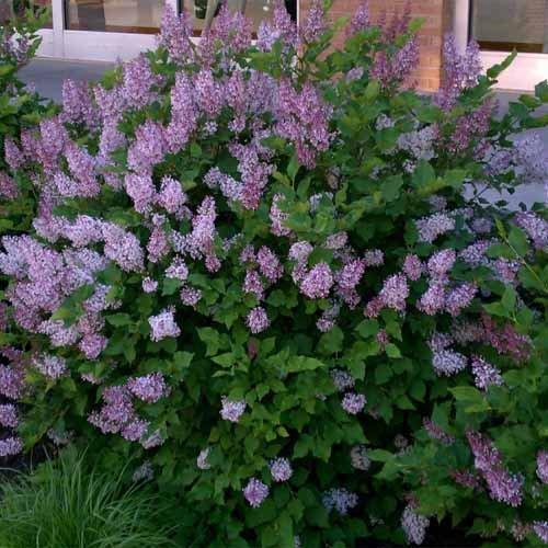 Miss Kim Manchurian Lilac (Syringa) - Live Plant - Trade Gallon Pot