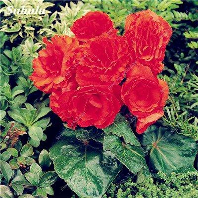 200 pcs/sac couleur Rare Begonia, Graines Bonsai Balcon Fleur, Plantes d'intérieur protection contre les radiations Bonsai graines, facile à cultiver 20