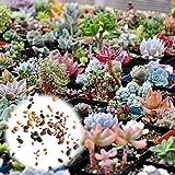 Rosepoem 400 Unids Semillas de Plantas Suculentas Mix Cactus Lithops Plantas Ornamentales Semillas Home Garden Plants