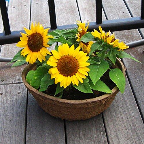 50PC Mini Graines de tournesol Graines de tournesol nain de tournesol série Hauteur 40cm Bonsai Graines de fleurs
