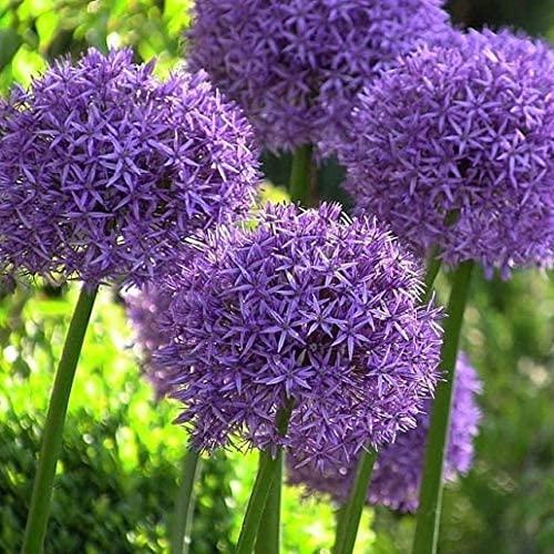 3 Stück lila Allium Zwiebeln Indoor Outdoor Zier Allium giganteum Blumen Garten Gartenpflanzung das ganze Jahr über Frühlingszwiebel Zwiebel zum Pflanzen
