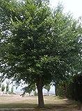 Baum des Jahres 1992 - Bergulme im Container Größe 100 bis 125 cm