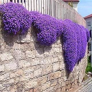 Creeping Thyme Thymus Serpyllum Magic Carpet Purple Walk on Me Plant, 500 seeds