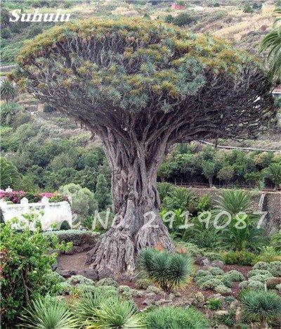 Livraison gratuite 10 Pcs rares Dracaena arbre alpiste Tree Island sang (Dracaena draco) Jardin des plantes voyantes, exotiques 18 Diy