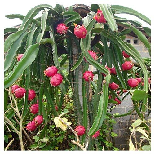 Semi di Pitaya, semi di frutta rossi circa 30 pezzi
