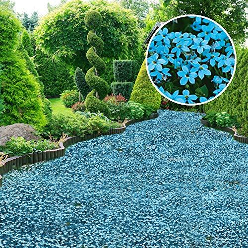Qulista Samenhaus - Duftend Polsterphlox Sternmoos Blaukissen immergrün Bodendecker Rasenersatz begehbares Blütenmeer | 50pcs Blumensamen Mischung winterhart mehrjährig für Steingarten