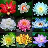 inkeme giardino - 10 pezzi semi di fiori di loto indiano piante acquatiche stagno piante ornamentali semi di fiori di loto fiori estivi resistenti perenni