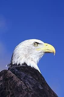 Posterazzi Colorado Front Range Bald Eagle (Haliaeetus Leucocephalus) Headshot. Poster Print (22 x 34)